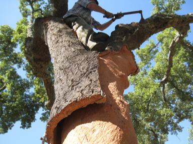 cork-tree