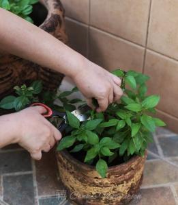 harvesting-herbs2